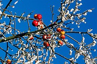 apple tree with apples and hoarfrost