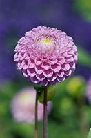 Dahlia (Dahlia hybrida)
