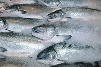 KING or CHINOOK SALMON Oncorhynchus tshawytscha. Pike Place Market, Seattle WA