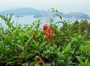 Hibiscus with Tsing Ma Bridge at background, Hong Kong