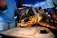LOGGERHEAD TURTLE Caretta caretta being prepared for release by Marinelife Center volunteers