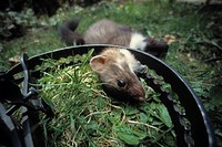 BEECH MARTEN Mustela foina caught in jaw_trap. Germany