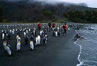 KING PENGUIN Aptenodytes patagonicus tourists wandering amongst group on beach. Bay of Isles, South Georgia