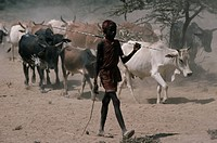 HERDING CATTLE. Maasai herders with cattle. Nguruman area, Kenya.