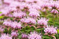 Flowering Bergamot