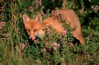 Red Fox cub, Hessen, Germany / (Vulpes vulpes)