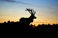 Red Deer (Cervus elaphus), silhouette of stag at sunset, Norfolk, England, UK, November