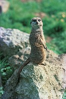 Side view of a meerkat standing on rock in Africa