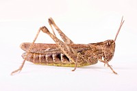 Common field grasshopper Chorthippus brunneus