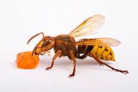 Hornet (Vespa crabro) eats jam