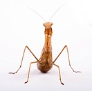 Praying Mantis Mantis religiosa