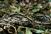 Snake, Jibóia, Brazil