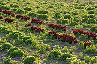 Field with red and green salad