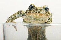 European green toad Bufo viridis in a clas