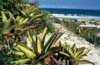 Plant, Beach, Bromélia, Marambaia, Brazil