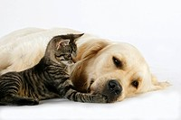 Golden Retriever and Domestic Cat, kitten