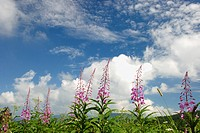 White Clouds And Orchid (thumbnail)