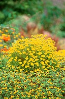 Yellow Flowers (thumbnail)