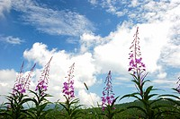 White Clouds And Orchid