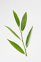 Bay leaves (thumbnail)
