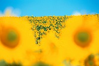 Sunflowers In Field (thumbnail)