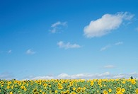 A Sunflower And Blue Sky (thumbnail)