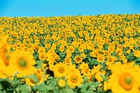Sunflower Field (thumbnail)