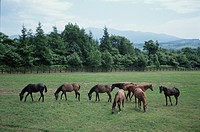 Horse In Hokkaido