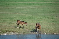 Two Horses By The River In Hokkaido (thumbnail)