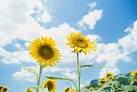 A Sunflower And Blue Sky