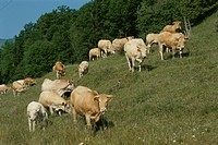 A Herd Of Cows (thumbnail)