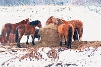 Ponies Eating Hay In Winter