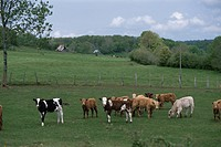 Cows In Netherlands