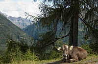 Cow with a cowbell on alpes