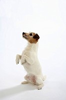 Jack Russell Terrier, bitch