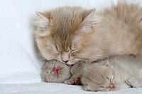 British Longhair Cat, lilac_tabby_makarell, and kittens, 18 days, Highlander, Lowlander, Britanica