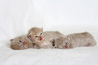 British Longhair Cats, kitten, 18 days, Highlander, Lowlander, Britanica