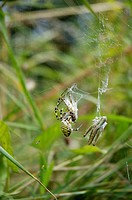Black and yellow Ariope Argiope bruennichi sitting in spider net with wrapped grasshoppers for prey