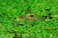 Edible frog (Rana esculenta) camouflaged in duckweed