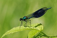 Male banded blackwing sitting on a leaf - Male banded agrion (Calopteryx splendens) (Agrion splendens)