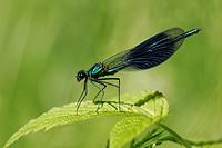 Male banded blackwing sitting on a leaf - Male banded agrion (Calopteryx splendens) (Agrion splendens)