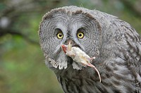 Great Grey Owl (Strix nebulosa) with prey