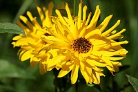 Sunflower (Helianthus pauciflorus Miss Melisch) (Helianthus rigidus Miss Melisch)