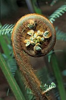 Shoot of a Wood Fern Cyatheales