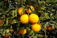 Oranges on the tree, Altea, Costa Blanca, Spain