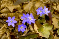 Hepatica nobilis, Ranunculaceae