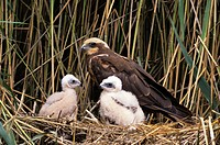 Marsh harrier (Circus aeruginosus) family (Accipitridae) female