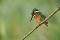 European kingfisher Alcedo atthis