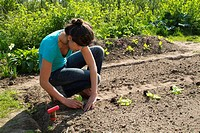 Young woman in a vegetable patch, planting of Salad Lactuca sativa
