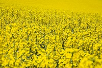 Blossoming rape field